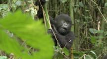 Mountain Gorillas, Youngsters Play. Rwanda. 2009