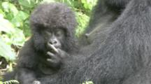 Mountain Gorillas, Curly Haired Baby In Adult's Arms. Rwanda. 2009