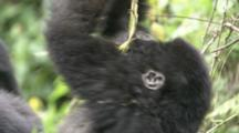 Mountain Gorilla Juveniles Play, Hangs From Vine And Twirls