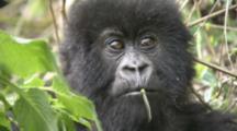 Mountain Gorilla (Gorilla Gorilla Beringei). Endangered.  Juvenile Portrait. Rwanda. 2009