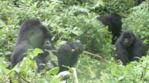 Mountain Gorilla (Gorilla Gorilla Beringei). Endangered. Family Group Emerge. Rwanda. 2009