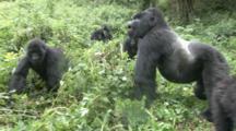 Mountain Gorilla (Gorilla Gorilla Beringei). Endangered. Family Move. Rwanda. 2009