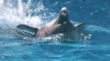 Captive. Bottlenose Dolphins (Tursiops Truncatus) Perform In Dolphin Show With Trainers. Repeatedly Leap Over Dolphin Swimming On Back. Dolphinarium. Faro. Portugal