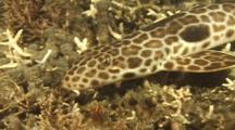 Epaulette Shark Uses Fins To Walk On Bottom