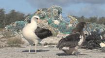 Laysan Albatross Adult And Chick (Phoebastria Immutabilis) Preen In Front Of Mounds Of Rubbish. Conservation Story - Rubbish. Midway Island. Pacific