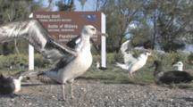 Laysan Albatross Chicks (Phoebastria Immutabilis) On Cinder Road By Wildlife Refuge Sign. Midway Island. Pacific