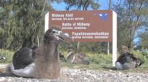 Laysan Albatross Chicks (Phoebastria Immutabilis) By Wildlife Refuge Sign. Midway Island. Pacific