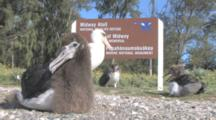 Laysan Albatross Chicks And Adult (Phoebastria Immutabilis) By Wildlife Refuge Sign. Midway Island. Pacific