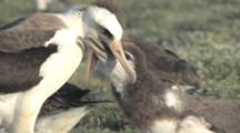 Laysan Albatross Adult (Phoebastria Immutabilis) Feeds Begging Chick. Midway Island. Pacific