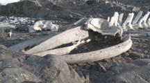 Whale Bones (Unidentified Species), Gentoo Penguin (Pygoscelis Papua) Runs By. Sub Antarctic Island