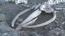 Whale Skeleton On Beach (Unidentified Species) Inspected By Person. Sub Antarctic Island