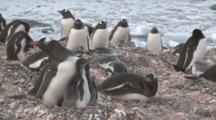 Gentoo Penguin (Pygoscelis Papua) Parent Feeds Chicks At Colony. Sub Antarctic Islands