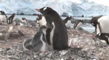 Gentoo Penguins (Pygoscelis Papua) At Colony. Sub Antarctic Islands
