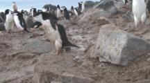 Chinstrap Penguin (Pygoscelis Antarcticus) Walk Past Camera At Edge Of Colony. Penguin Island, Antarctica
