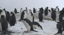 Chinstrap Penguins (Pygoscelis Antarcticus) In Colony.   Penguin Island, South Orkney Islands