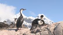 Blue-Eyed Shag On Nest With Chick In Colony, Snowy Peak Behind, Port Lockray, Antarctic Peninsula