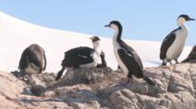 Blue-Eyed Shag/Imperial Shag (Phalacrocorax Atriceps) At Nest Site. Jougla Point, Wiencke Island, Antarctic Peninsula