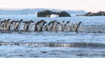 Adelie Penguins Begin To Cross Shallow Water On Way To Sea, Most Run Back Scared. Brown Bluff, Antarctic Peninsula