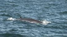 Minke Whale On Surface (Balaenoptera Acutorostrata). Inner Hebrides. Uk. 22/07/09