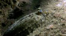 Flounder/Flatfish (Currently Unidentified). Arran. Underwater, North Atlantic