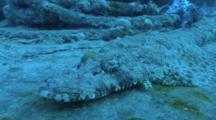 Crocodile Fish (Platycephalus Indicus) On Thistlegorm, Red Sea, Egypt