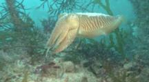 Common Cuttlefish (Sepia Officinalis) Backs Up Reef, Guernsey, English Channel, Uk