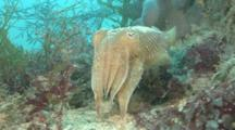 Common Cuttlefish (Sepia Officinalis) Moves Slowly, Hides In Sea Grass