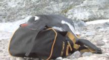 Gentoo Penguin (Pygoscelis Papua) Falling Asleep On Photographers Backpack , Cuverville,  Antarctic Peninsula