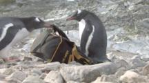 Gentoo Penguin (Pygoscelis Papua) Gets Off My Backpack, Cuverville,  Antarctic Peninsula
