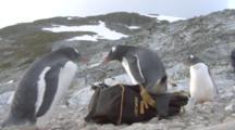 Gentoo Penguins (Pygoscelis Papua) Claims My Backpack, Cuverville,  Antarctic Peninsula