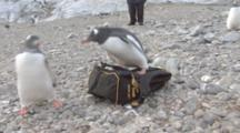 Gentoo Penguins (Pygoscelis Papua) Take A Liking For My Backpack, Cuverville,  Antarctic Peninsula