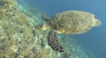 Hawksbill Turtle (Eretmochelys Imbiocota) Lands On Reef, Red Sea, Egypt