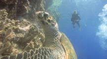 Hawksbill Turtle (Eretmochelys Imbriocota) Eats Soft Corals, Red Sea, Egypt