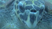 Hawksbill Turtle (Eretmochelys Imbriocota)BCU Feeding, Red Sea, Egypt