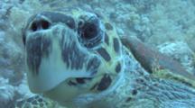 Hawksbill Turtle (Eretmochelys Imbriocota)BCU Head On, Red Sea, Egypt
