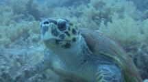 Hawksbill Turtle (Eretmochelys Imbriocota)CU Feeding, Red Sea, Egypt