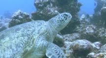 Green Turtle (Chelonia Mydas) Resting On Reef Indian Ocean, Maldives