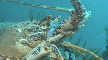 Spiny Lobser.Crayfish,(Palinurus Elephas) CU, Guernsey English Channel, UK