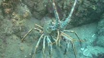 Spiny Lobser.Crayfish,(Palinurus Elephas) Face On, Guernsey English Channel, UK