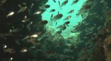 Glass Fish Inside Kasi Maru (Or Kashi Maru) Ship Wreck. Mbaeroko Bay, Near Munda, Solomon Islands, Melanesia