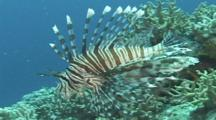 Lionfish/Turkeyfish (Pterois Unknown Species) Over Reef. Papua New Guinea