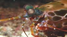 Mantis Shrimp (Unknown Species). Papua New Guinea