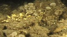 Epauletted/Cat Shark (Hemiscyllium Species) Uses Fins To