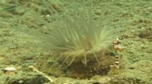 Tube Anemone (Unknown Species) With Cleaner Shrimp. Papua New Guinea