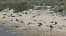 Laysan Albatross Chicks (Phoebastria Immutabilis) On Beach Near Rubbish. Conservation Story - Rubbish. Midway Island. Pacific