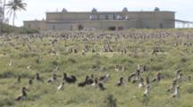 Laysan Albatross (Phoebastria Immutabilis) Colony Near US Base Buildings. Midway Island. Pacific