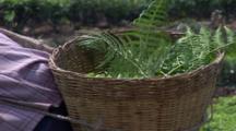 Tea Picker With Basket. Yunnan Province. China