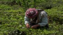 Tea Picker Stooped In Field. Yunnan Province. China