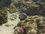 Three Spot Dascyllus (Dascyllus Trimaculatus). Mating Behaviour. Dahab, Red Sea
