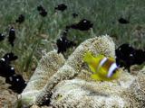 Two Banded Anemonefish (Amphiprion Bicinctus) And Juvenile Three Spot Dascyllus (Dascyllus Trimaculatus).  Dahab. Red Sea
